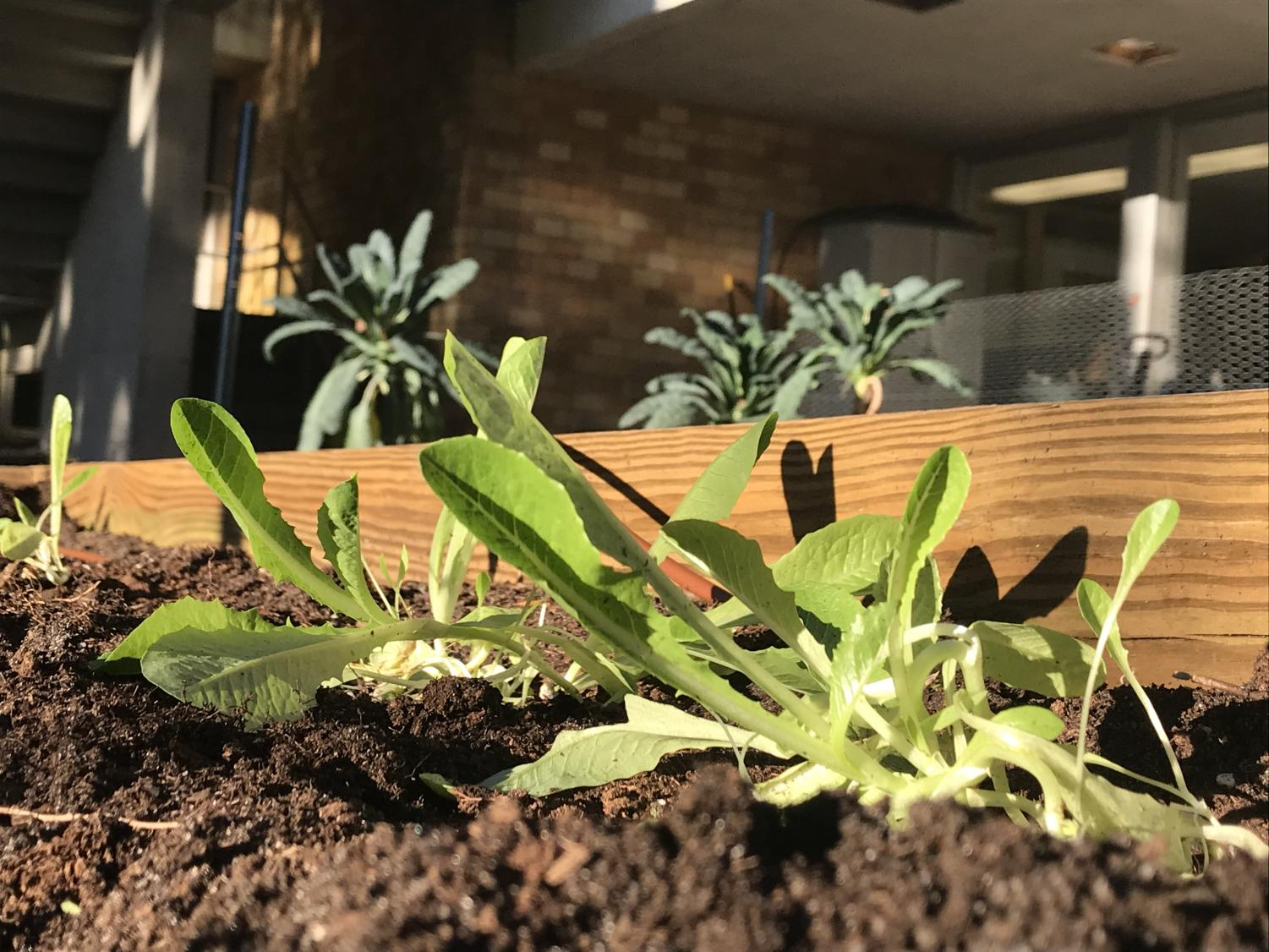 Lettuce growing in the JU garden located behind the library. The garden also grows kale, tomatoes, and potatoes.
